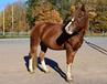 Goldie ponny smedstad