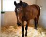 Smedstad liberija horse